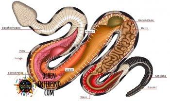 Анатомія змії