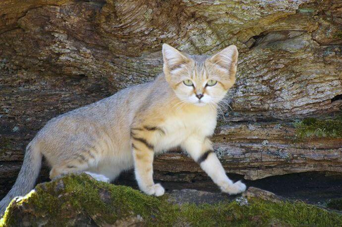 Піщаний кіт