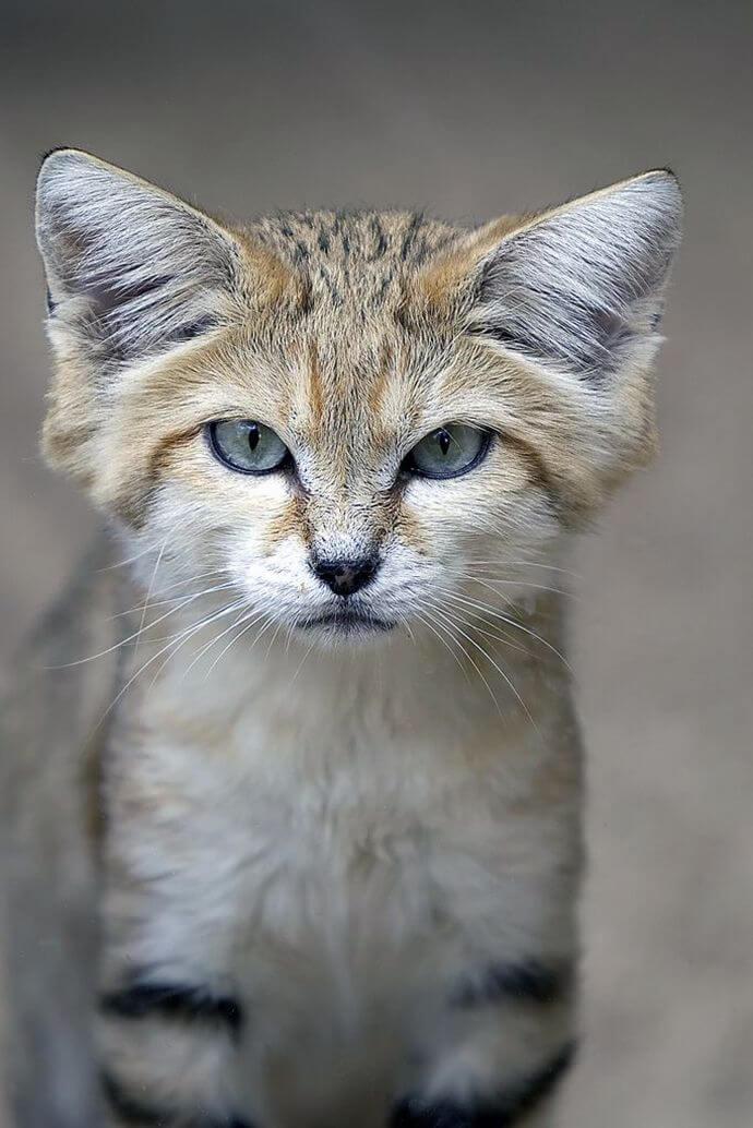 Оксамитовий кіт