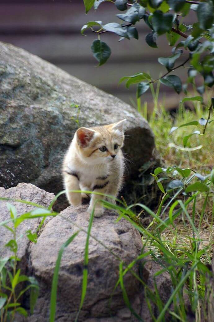 Барханный кіт
