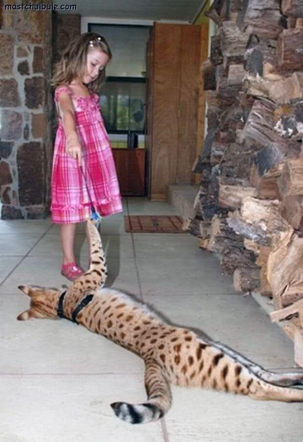 Самый большой кот в мире – саванный кот