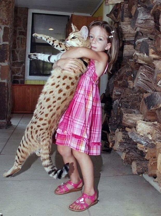 Найбільший кіт у світі – саванний кіт