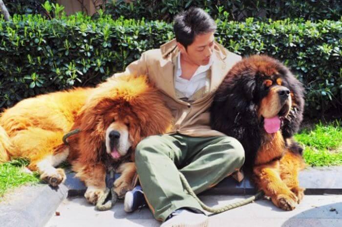 Щеня тибетського мастифа - 2 мільйони доларів
