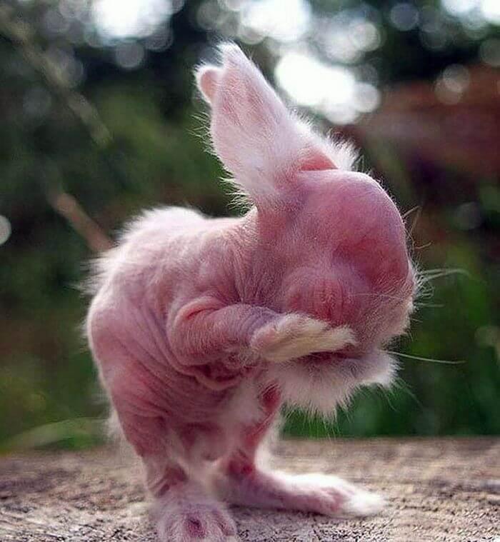 Кролик без шерсті