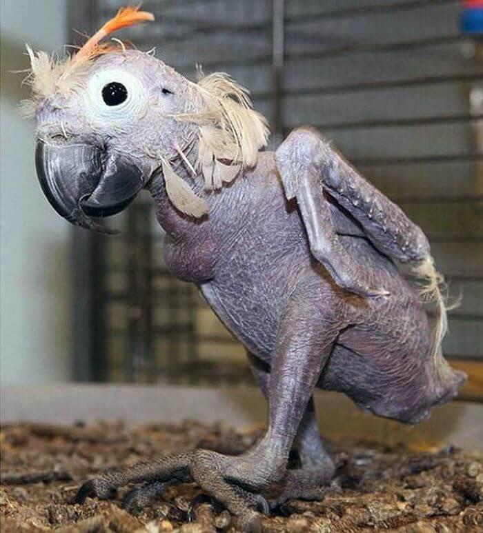 Папуга без шерсті
