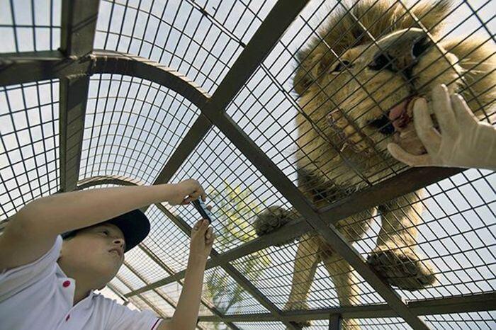 Унікальний зоопарк з левами